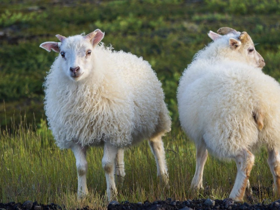 two-white-icelandic-sheep-side-of-ring-road