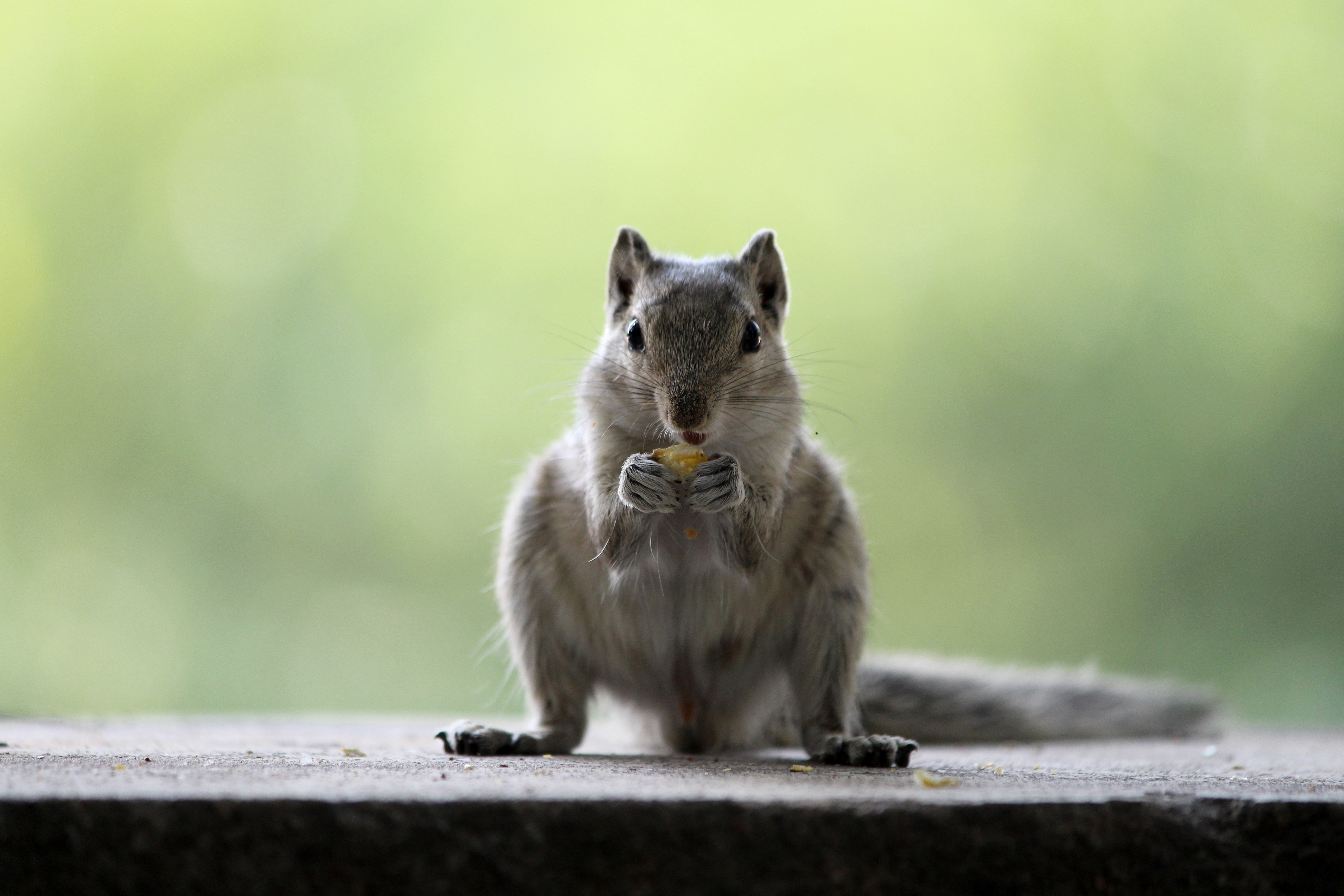 squirrel-eating-nut-looking-into-camera